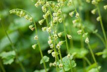 Flera Tellima grandiflora