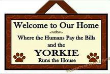 Yorkie Love!