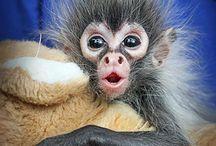 schatiggen aapjes