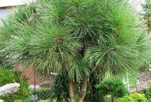 Pinus jeffreyi Nagytobozú sárgafenyő