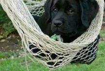 Honden/Labradors/Golden Retrievers / Labradors