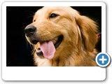 Golden Labrador Info