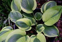 Hosta, mijn lievelingsplanten in onze tuinen.