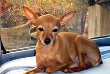 Deer Chihuahua's and the other kinds! Hahaha / See!! They do exist!