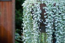Blue, white silver lilacs