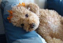 Poodles / Dog Type Poodles