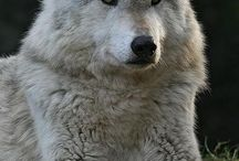 Wolves / by Terri Weddle Troyan