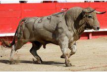 toro bulls