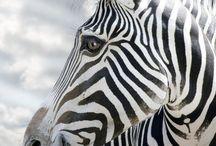 animals / zebra, girraffe ....