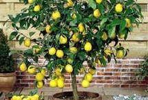 Saksı meyveleri