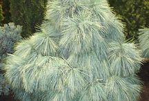 Pinus x schwerinii