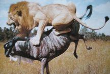Primeiras impressões da Terra / Predadores comem carne