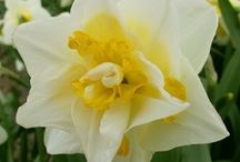 Beauty of daffodil / narcissus