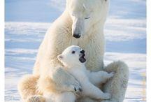 Ositaos polares