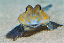 Leierfische