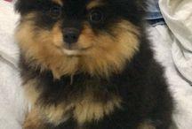 Arthur The Dog / O spitz alemão mais lindo de Macapá