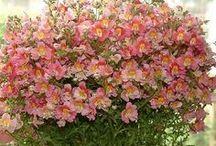 Flores para clima seco