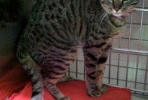 Available Bengal Cats and Kittens