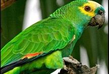 Amazonas / * Álbum de loros amazónicos