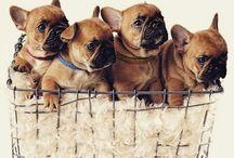 French Bulldog ..WHATT??