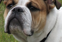English Bulldogs & Friends / My bullie Otis and his friends, as well as other cute pets. / by Tori Beveridge