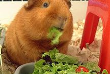 Animals We Love: Guinea Pigs / We just love little Guinea Pigs. We hope you do too!