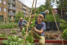 Meer groen? Zelf doen! / Moestuin in Molenwijk Een jaar geleden startte Bart Kant in zijn straat, de Texelhof in Molenwijk, een gemeenschappelijke biologische moes- en vruchtentuin. Nu blijkt dat hij, samen met enkele enthousiaste buren, niet heeft stilgezeten: het oude plantsoen heeft plaatsgemaakt voor een kruidentuin, beschilderde compostbakken, groentebedden en een 'eetbaar bos', met fruitbomen en bessenstruiken.   Iedereen die wil meehelpen is van harte welkom en kan zich aanmelden op texelhof@gmail.com.