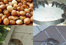 Veneno natural para matar ratos
