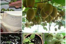 Arbre fruitier kiwis