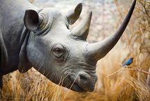 Animals: Rhinos