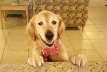 Cody Memes / Our hotel guests are not able to bring their pets with them (call our concierge for some great, local pet hotel recommendations)  but owners and residents are allowed to have them.  One of our residents, Michelle, is the mom of a gorgeous, sweet Golden Retriever named Cody.  Cody is such a star around the lobby we started making memes to show how much we love him!