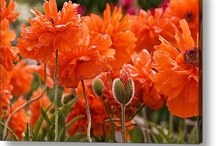 Poppy / Poppies in any form... Art, photos, seed.. Whatever catches your eye, just so long as its poppy related :)
