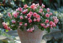 Hage tips / Rosa roser