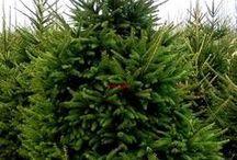 CHRISTMAS TREE SALES RAWA MAZOWIECKA