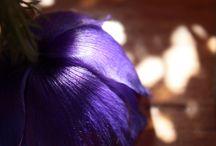 Fleurs de pavot? / photos : Pierre SOUILLARD