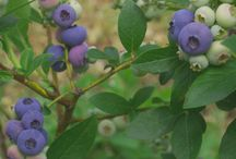 Growing Berry Plants