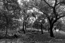 Alcornoques y quejigos / #Árboles típicos de la #Sierra Morena en #Andalucía, España #trees