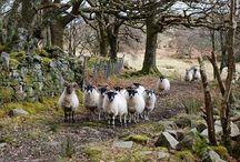 2014 sheep