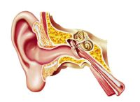 Ear, Throat and Nose - Health Conditions / Ear, Throat and Nose - these three body parts handle several important functions:  hearing, breathing, smelling, swallowing, speech and balance.  The ears, nose and throat are commonly grouped together , perhaps because they are linked together in the body and infection can easily pass from one to the other two.