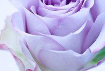 Levander Rose