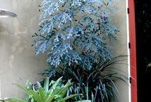 Plant Lust: Cussonia / Cussonia
