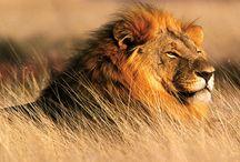 Steht der König der Tiere vor der Ausrottung?