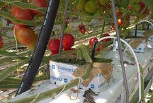 Volg de groei van een tomaat