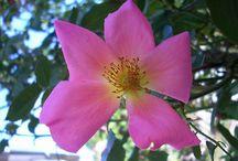 My Roses / růže, rosa roses rosaceae:)