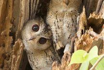 Owls *(O,O)*
