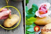 Na túto metódu rozmnožovania ruží som počula všeli…