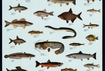 Freshwater Fish & More / Fishes,etc... / by Ruth Farmer
