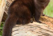 Moerasotter / De Amerikaanse nerts wordt helaas door velen alleen gewaardeerd als bontjas, maar het is eigenlijk een (moeras)otter die veel water en ruimte nodig heeft. Daarnaast is dit dier speels, nieuwsgierig en hyperintelligent. Enjoy the living ones! Er zitten wat Europese nertsen tussen, maar die zijn ook leuk!