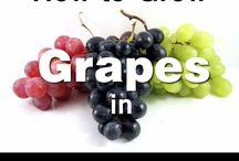 Grapes in a pot