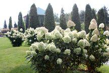 Joyeux Hydrangea paniculata! / #paysagement #amenagementpaysager #horticulture #jardinage #gardening